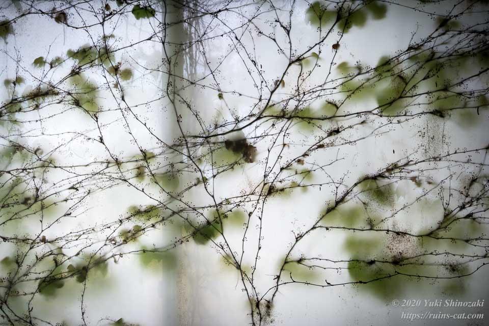 食堂のカーテンに繁茂した蔦 アップ