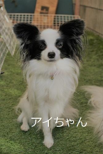 アイちゃん パピヨン