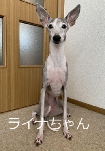 ライナちゃん イタグレ