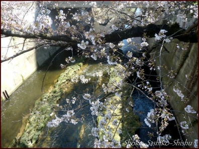20200327 神田川 1  桜咲く