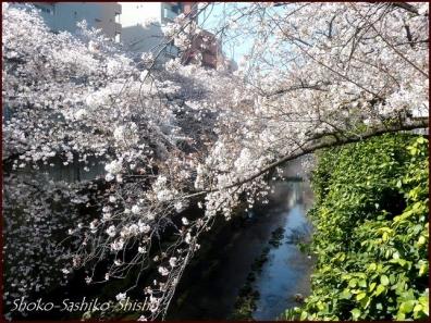20200327 神田川 3  桜咲く