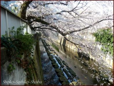20200327 神田川 5  桜咲く