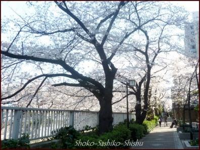 20200327 神田川 6  桜咲く
