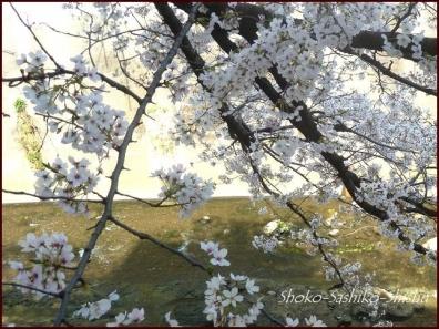 20200327 神田川 10  桜咲く