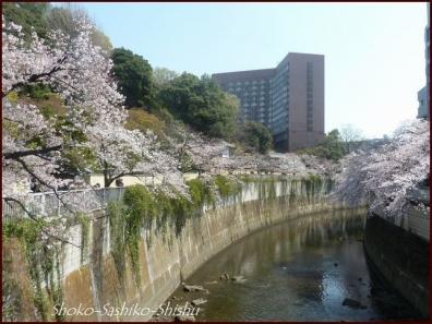 20200327 神田川 12  桜咲く