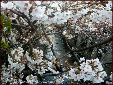 20200327 面影橋 4  桜咲く