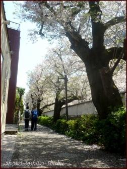 20200409 桜 1  桜散る