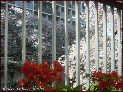 20200409 桜 2  桜散る
