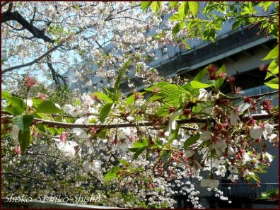 20200409 桜 10  桜散る