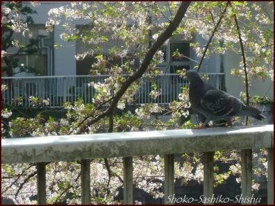 20200409 桜 11  桜散る