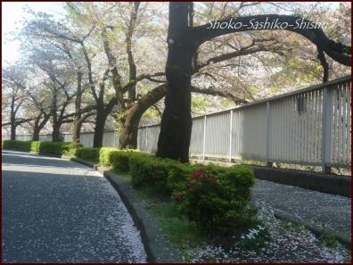 20200409 桜 15  桜散る