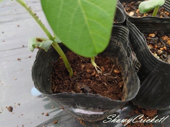 2020-05-16枝豆 (3)