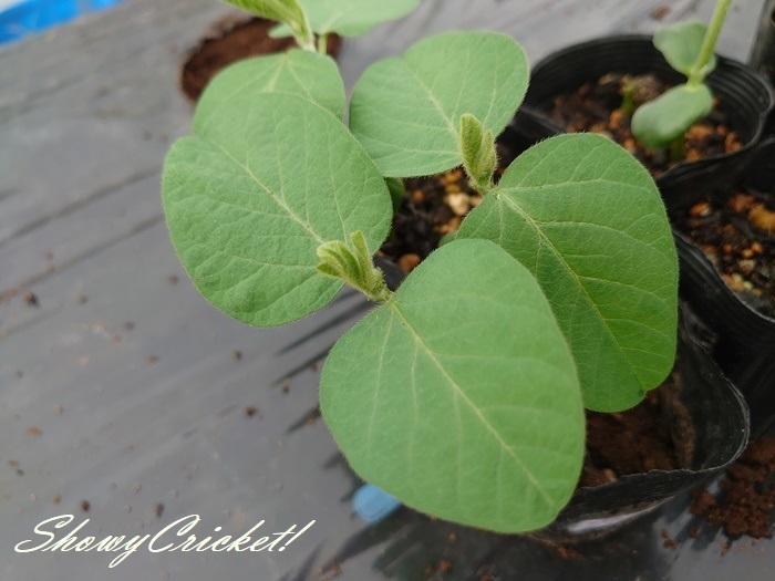 2020-05-16枝豆 (4)