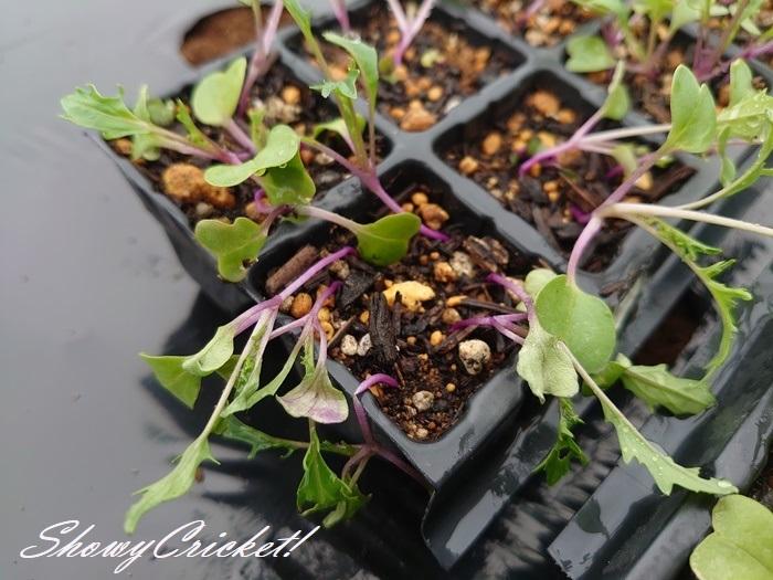 2020-05-21水菜 (4)