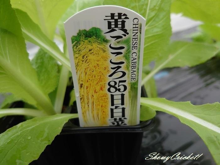 2020-09-27白菜 (9)