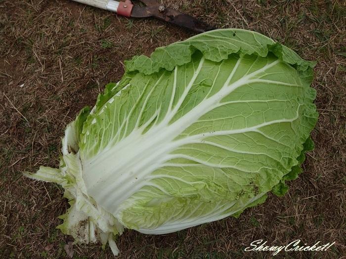 2020-11-27白菜 (9)