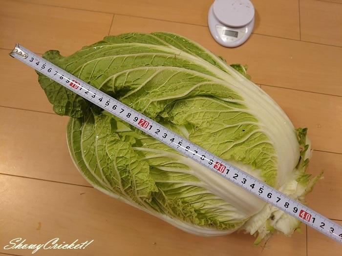 2020-11-27白菜 (22)