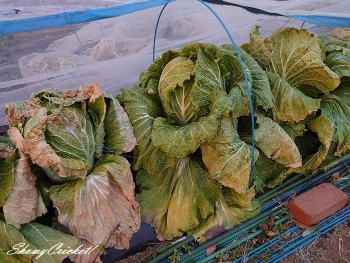 2021-01-16白菜 (3)