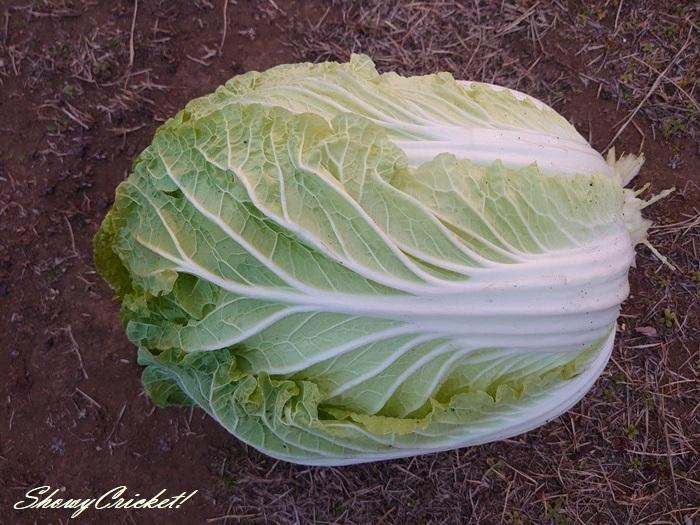 2021-01-16白菜 (8)