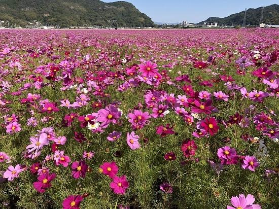 コスモス畑 (2)