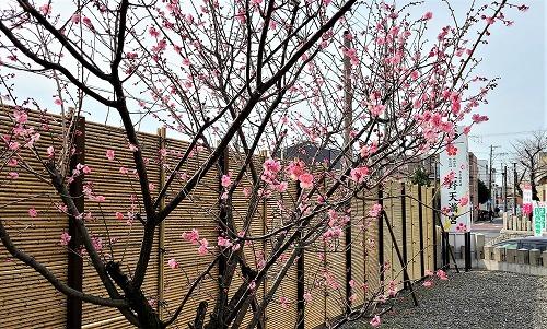 上野天満宮 紅梅