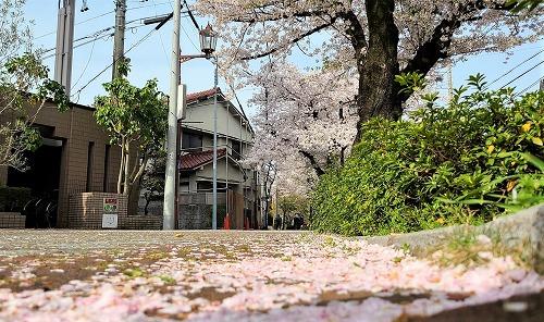 歩道に散った花びら