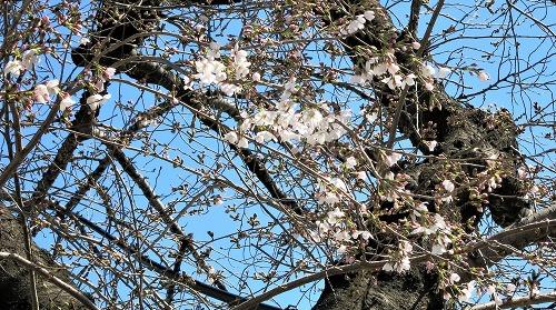 開花がすすんだ木