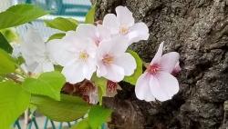 桜の花びらたちがはらはら