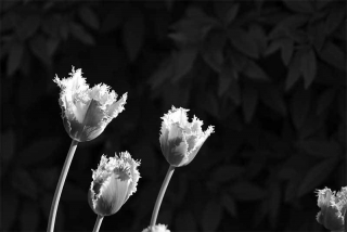 210422_tulips_01bw.jpg