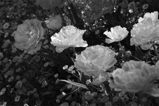 210427_tulips_02bw.jpg