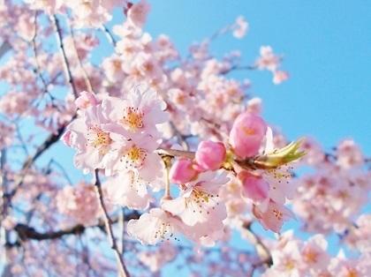枝垂れ桜 2020b