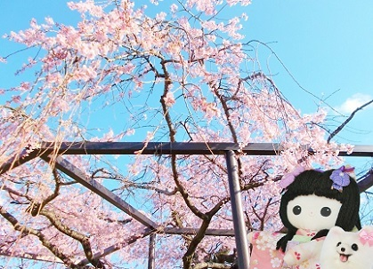 枝垂れ桜 2020i
