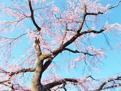 枝垂れ桜 2020g