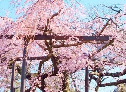 枝垂れ桜 2020f