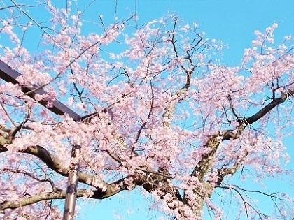 枝垂れ桜 2020e