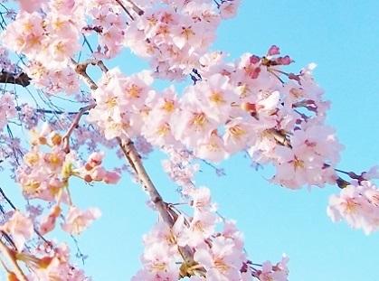 枝垂れ桜 2020c