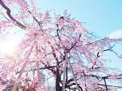 枝垂れ桜 2020d
