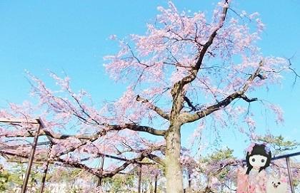 枝垂れ桜 2020k