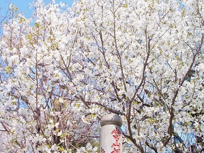 お寺の山桜 2020