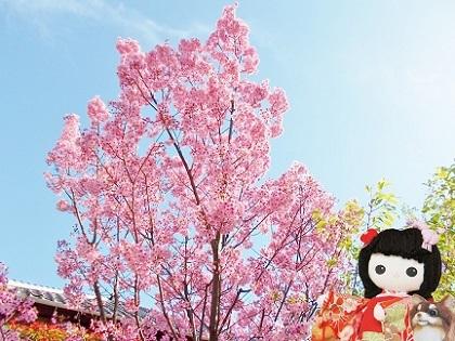 青空に陽光桜 2020