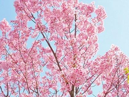 陽光桜 2020