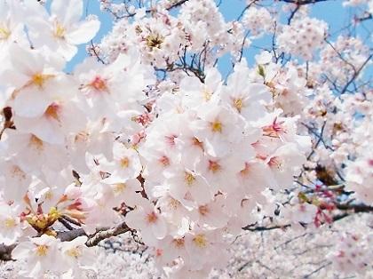 華やぎの桜