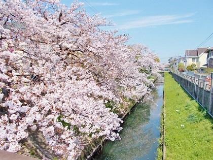 小川ともりもりの桜