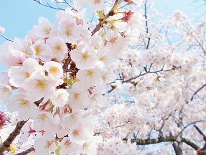 輝く桜たち1