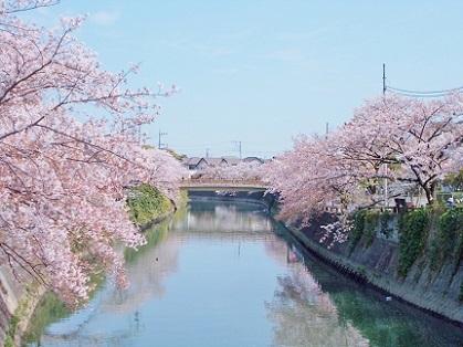 美しい桜と川の風景