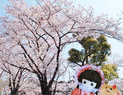大きな桜が見えてきました