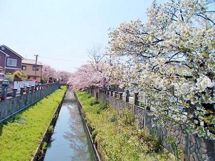 小川と桜2