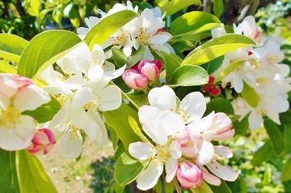 りんごのようなお花