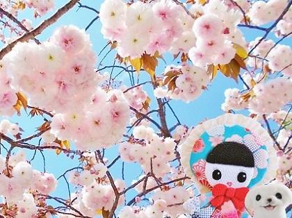 ぽんぽん可愛い八重桜