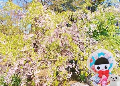 遅咲きの八重桜 2